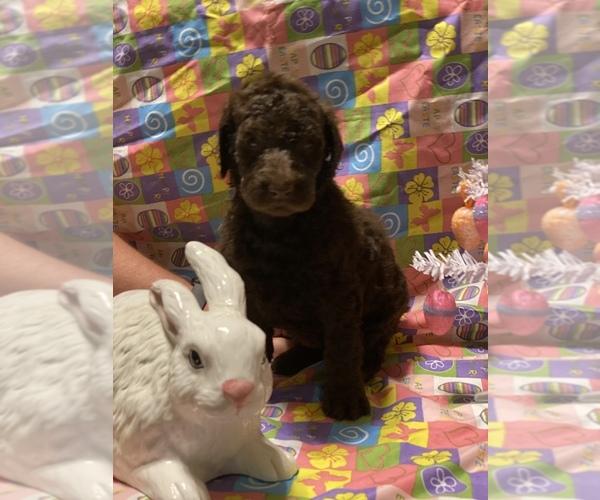 Medium Photo #5 Labradoodle Puppy For Sale in COWARD, SC, USA