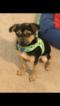 Pugshire Puppy For Sale in VIRGINIA BEACH, VA, USA