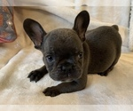 Small #6 French Bulldog