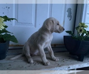 Labradoodle Puppy for sale in HOPKINSVILLE, KY, USA