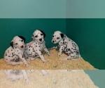 Small #9 Dalmatian
