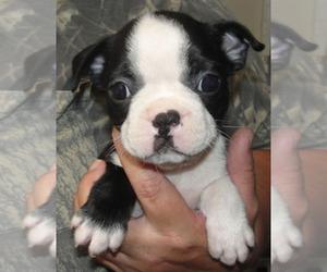 Boston Terrier Puppy for Sale in WILSONVILLE, Oregon USA