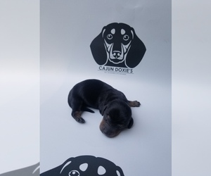 Dachshund Puppy for sale in SLAUGHTER, LA, USA