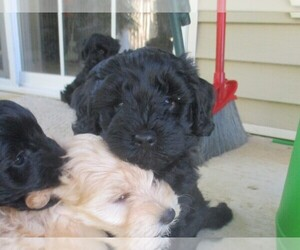 Schnoodle (Miniature) Puppy for sale in BEDFORD, IN, USA