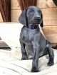 Weimaraner Puppy For Sale in PIGEON FORGE, Tennessee,