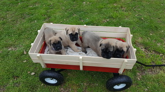 Mastiff Puppy for sale in EMORY, TX, USA