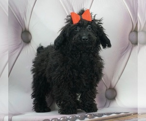 Poodle (Miniature) Puppy for sale in WARSAW, IN, USA