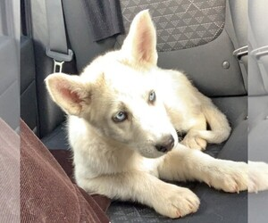 Siberian Husky Dog for Adoption in SPRING VALLEY, California USA