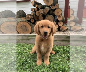 Golden Retriever Puppy for Sale in RITTMAN, Ohio USA