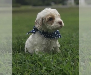 Australian Labradoodle Puppy for sale in LA PLATA, MD, USA