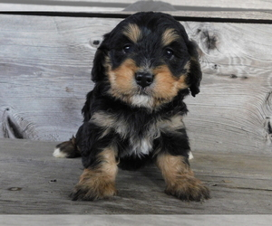 Medium Miniature Bernedoodle
