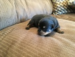 Rottweiler Puppy For Sale in BAKERSFIELD, CA, USA