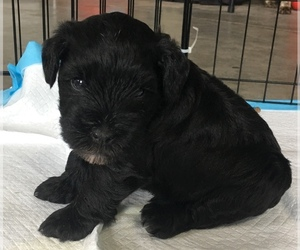 Schnauzer (Miniature) Puppy for Sale in GRANBY, Missouri USA