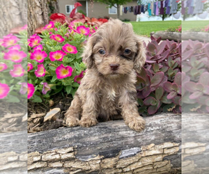 Cocker Spaniel-Poodle (Miniature) Mix Puppy for sale in SHILOH, OH, USA