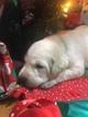 Labrador Retriever Puppy For Sale in LINCOLN, TX, USA