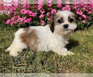 Zuchon Puppy for sale in BONDUEL, WI, USA