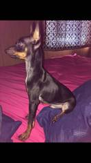 Miniature Pinscher Puppy For Sale in SOUTH OZONE PARK, NY