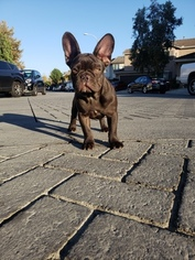 Beautiful Chocolate Female French Bulldog