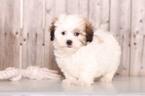 Zuchon Puppy For Sale in MOUNT VERNON, Ohio,