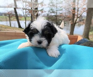 Shih Tzu Dog for Adoption in CHICAGO, Illinois USA