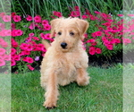 Small #1 Labradoodle-Poodle (Miniature) Mix