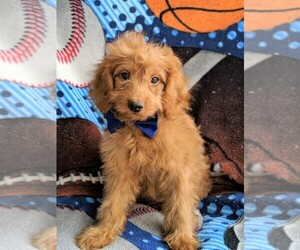 View Ad Goldendoodle Puppy For Sale Near Pennsylvania
