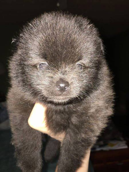 Gallery Of Photos For Ad Adn 85902 Photo 1 Pomeranian Puppy For