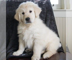 English Cream Golden Retriever Puppy for sale in MANHEIM, PA, USA