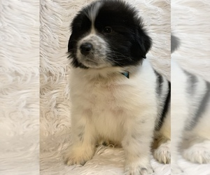 Great Pyrenees-Newfoundland Mix Puppy for sale in DALE, IN, USA