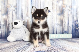 Pomsky Puppy For Sale in NAPLES, FL, USA
