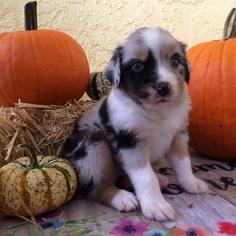Australian Shepherd Puppy For Sale in CAPE CORAL, FL, USA