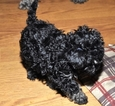 Poodle (Toy) Puppy For Sale in GLENWOOD CITY, WI, USA