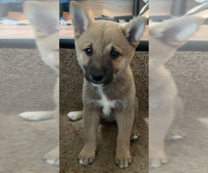 Shiba Inu Puppy for Sale in PANORAMA VILLAGE, Texas USA