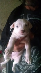 American Pit Bull Terrier Puppy for sale in CHUCKEY, TN, USA