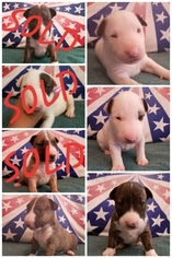 Bull Terrier Puppy for sale in TOLEDO, OH, USA