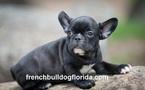 French Bullog Puppies Pet name Tom