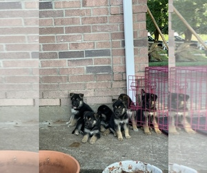 German Shepherd Dog Puppy for Sale in BROOKSHIRE, Texas USA