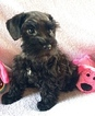 Schnauzer (Miniature) Puppy For Sale in HUTTO, TX,