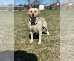 Labrador Retriever Puppy for sale in GERBER, CA, USA