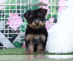 Yorkshire Terrier Dog for Adoption in MARIETTA, Georgia USA