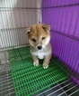 Shiba Inu Puppy For Sale in SAN FRANCISCO, CA, USA