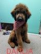Goldendoodle Puppy For Sale in SAINT CLOUD, FL, USA