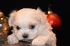 Maltese Puppy For Sale in MARYSVILLE, WA, USA