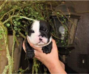 English Bulldog Puppy for sale in AUSTIN, CO, USA