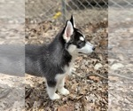 Small Photo #6 Siberian Husky Puppy For Sale in MORGANTOWN, IN, USA