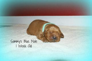 Golden Retriever Puppy for sale in DEWITT, VA, USA