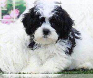 Maltese Puppy for sale in MARIETTA, GA, USA