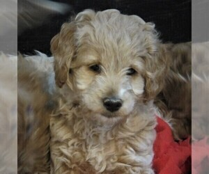 Goldendoodle-Poodle (Miniature) Mix Puppy for sale in LUBLIN, WI, USA