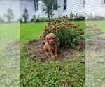 Puppy 3 Golden Retriever-Poodle (Toy) Mix