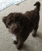 Australian Labradoodle Puppy For Sale in NORTH READING, MA